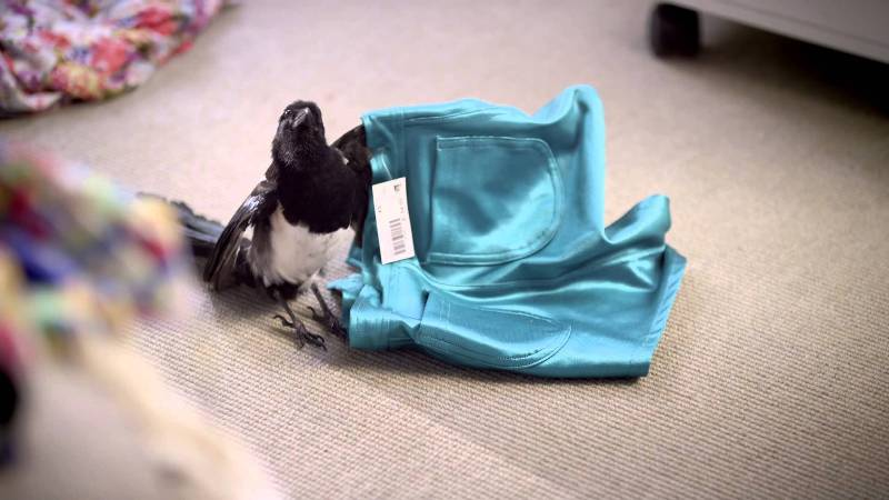 Magpie with Clothes